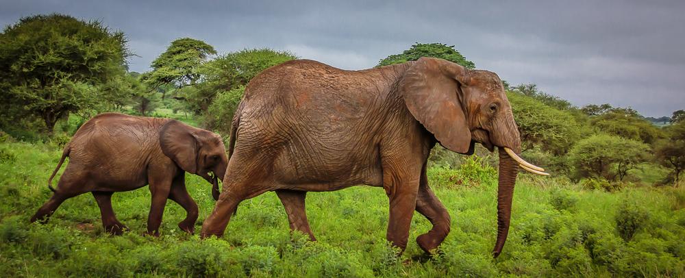 Serengeti Elephants, Tanzania