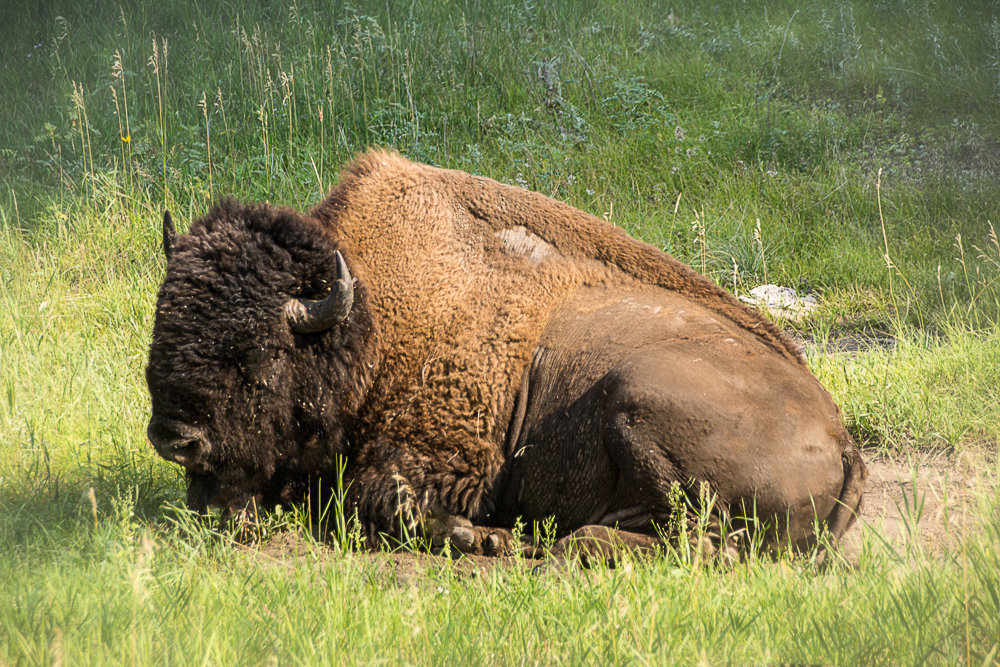 Buffalo at rest