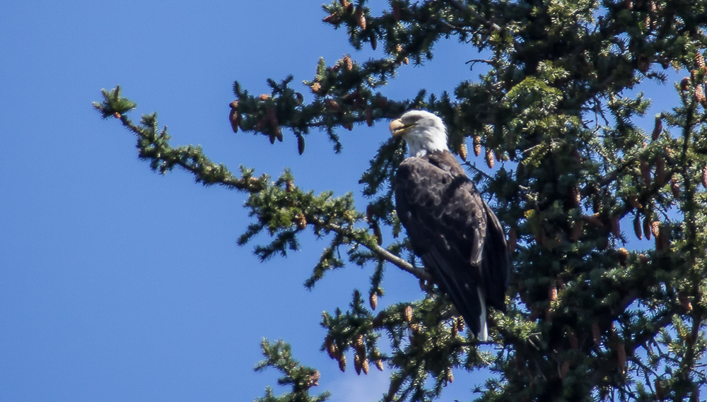 Eagle on the Snake River, Grand Tetons
