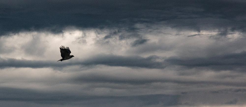 Distant Eagle at dusk