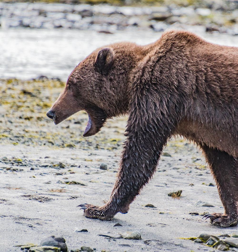 Juvenile Kodiak bear