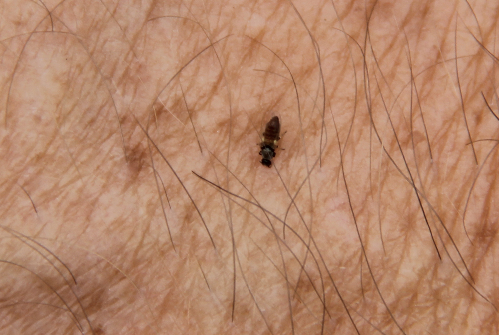 Adult female black fly feeding on human host.