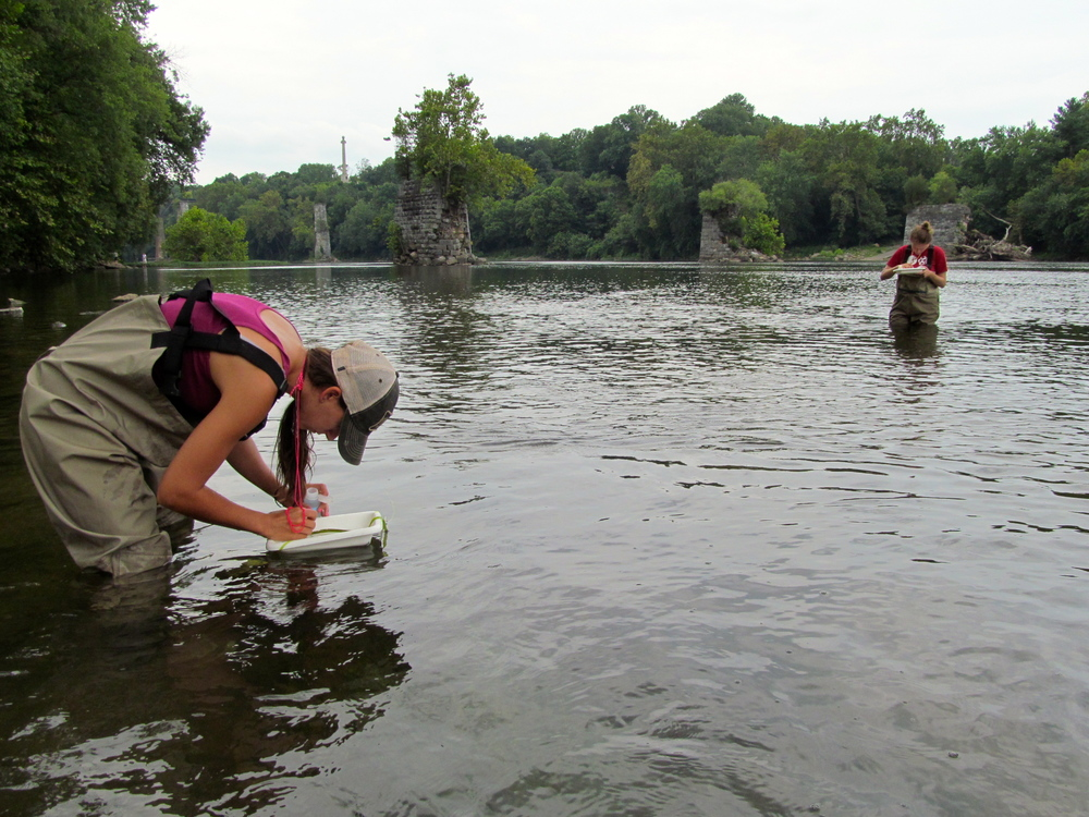 Wading for larvae in the Potomac River near Lock 38 Photo: Alan Leslie, University of Maryland