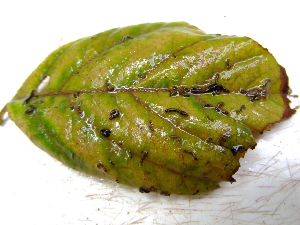 Black fly larvae on leaf Photo: Alan Leslie, University of Maryland