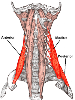 This is looking straight on like you were looking in the mirror.  The bright red muscles are the scalenes. Image from Wikipedia