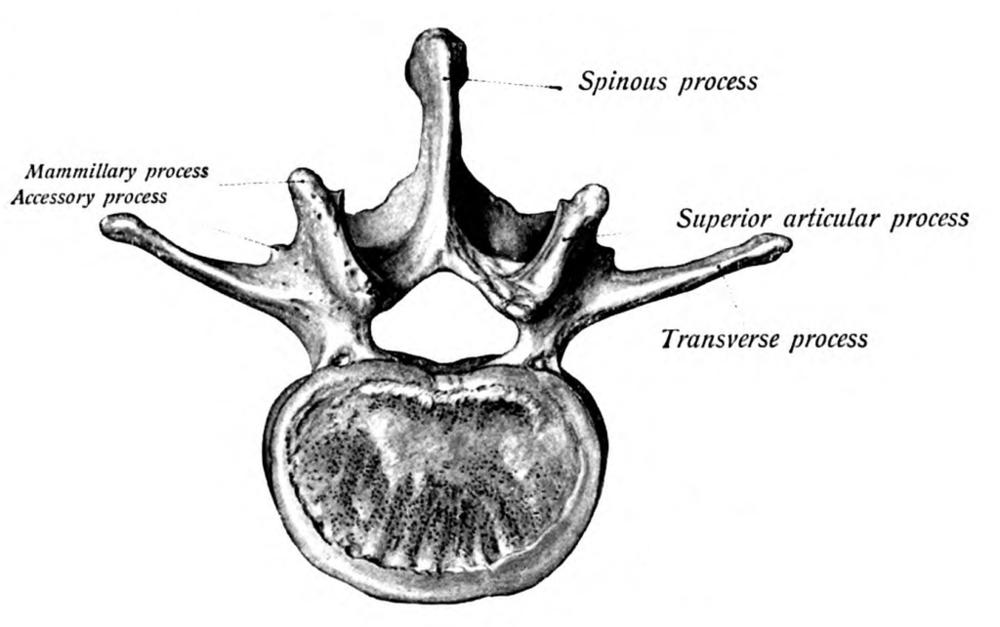 Lumbar vertebra image from Wikipedia
