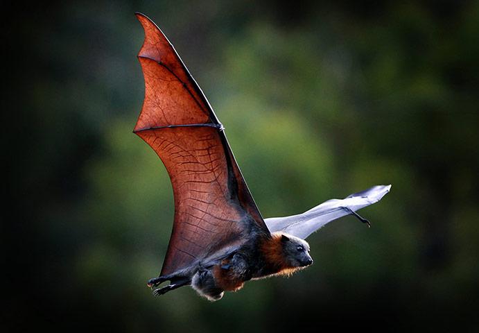 rhamphotheca: neiture:Grey-headed Flying Fox bat (Pteropus poliocephalus), Melbourne, Australia (image:Newspix)