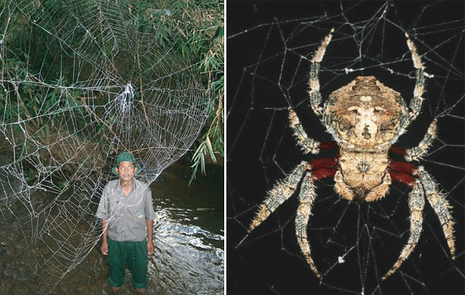 rhamphotheca: BBC News Favorite Recent Discoveries: Darwin's Bark Spider (Caerostris darwini) was discovered in Madagascar. It makes some of the largest webs known, reaching 25 metres across, and produces silk that is more than two times stronger than silk made by any other spider. (via: BBC News)