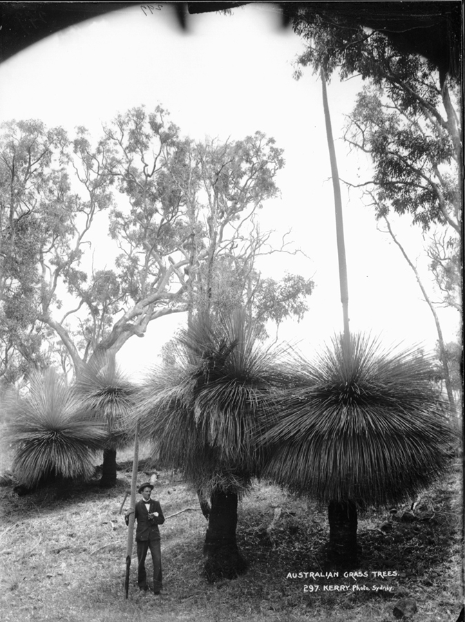 Kerry & Co., Australian Grass Trees, c. 1890