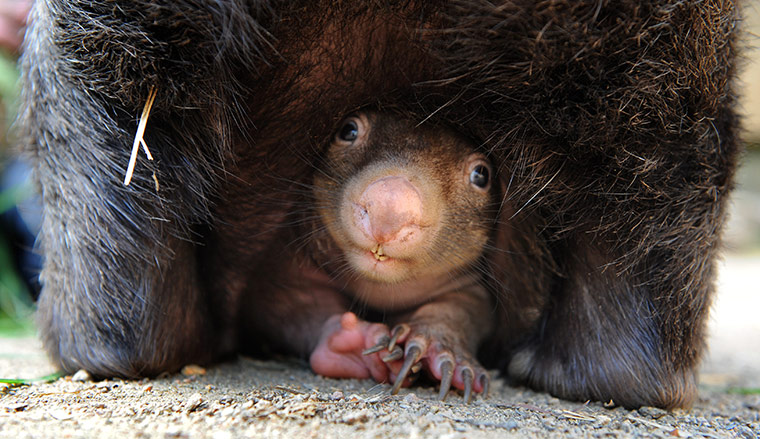 rhamphotheca: Baby wombat born at Ballarat wildlife park, Victoria, Australia. Wombat super-mum Coco has given keepers cause to celebrate in the birth of her third joey, as it is rare that a male and female wombat will breed and stay together this long. (via: Guardian UK)