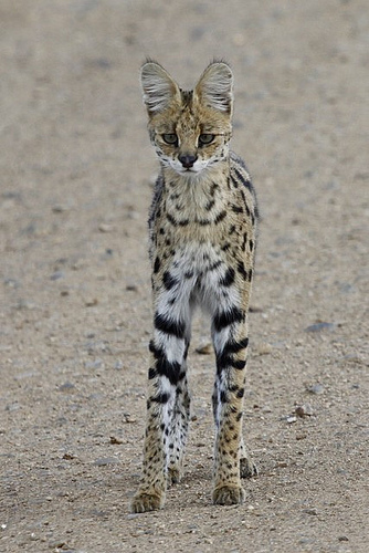 nckrfkn: theanimalblog: Rare sighting of a Serval (by CherylV) Submitted by:justlivingisnotenough I want a serval buddy to live in the woods behind my cabin so when I go outside we can hunt rabbits together.