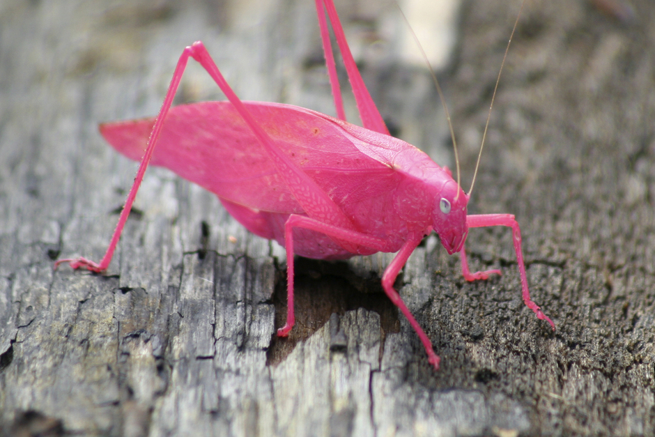 cordisre: A pink Katydid. Usually grey, this is a 1 in 500 mutation. National Preserve, Beverley Shores, Indiana.