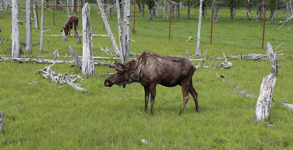 A moose hangs out at the alaska wildlife conservation center