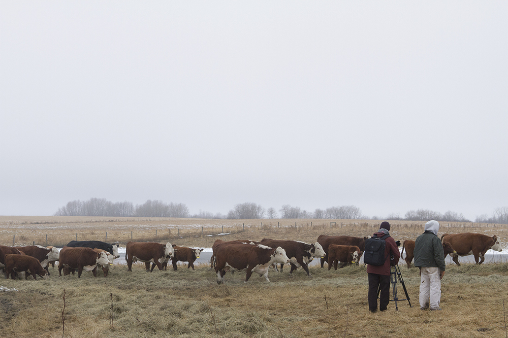 Filming cows