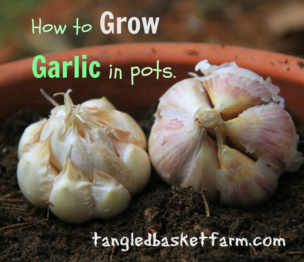 How to grow garlic in pots.