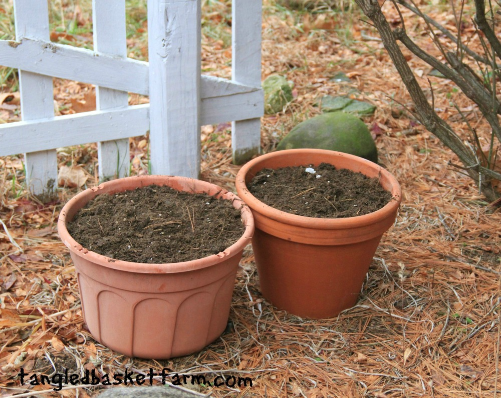 How to plant garlic in pots.