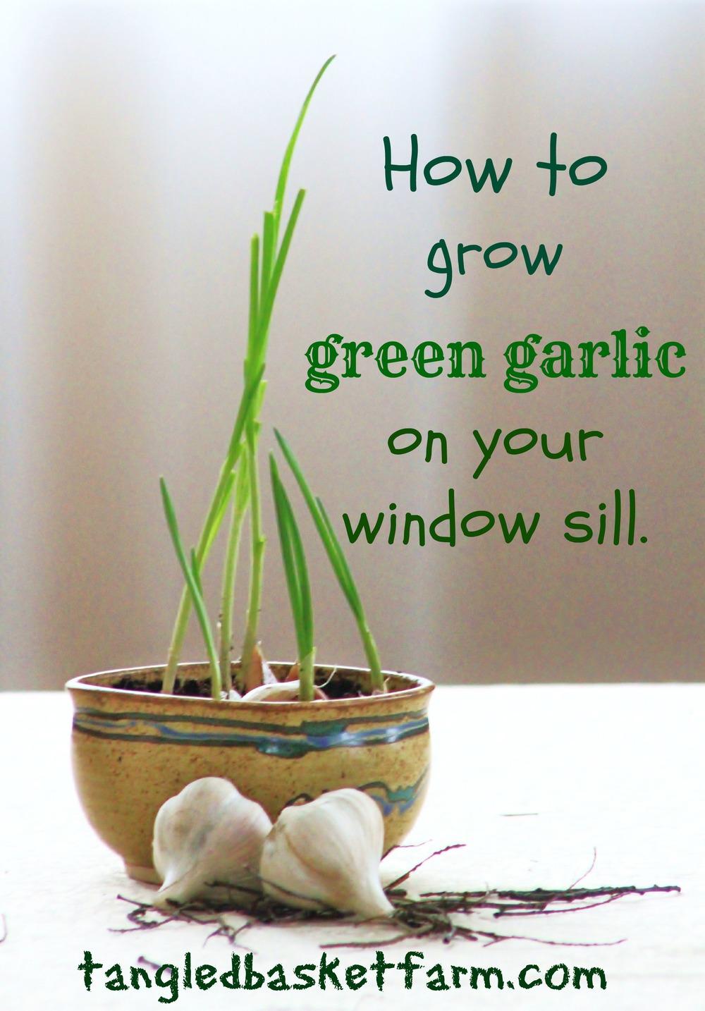 How to grow green garlic indoors.