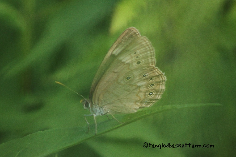 Note the extra spot in the center of the wing. This is not a Mitchell's Satyr. This is an Eyed Brown butterfly.