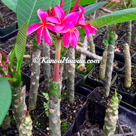Plumeria Plant Growing3
