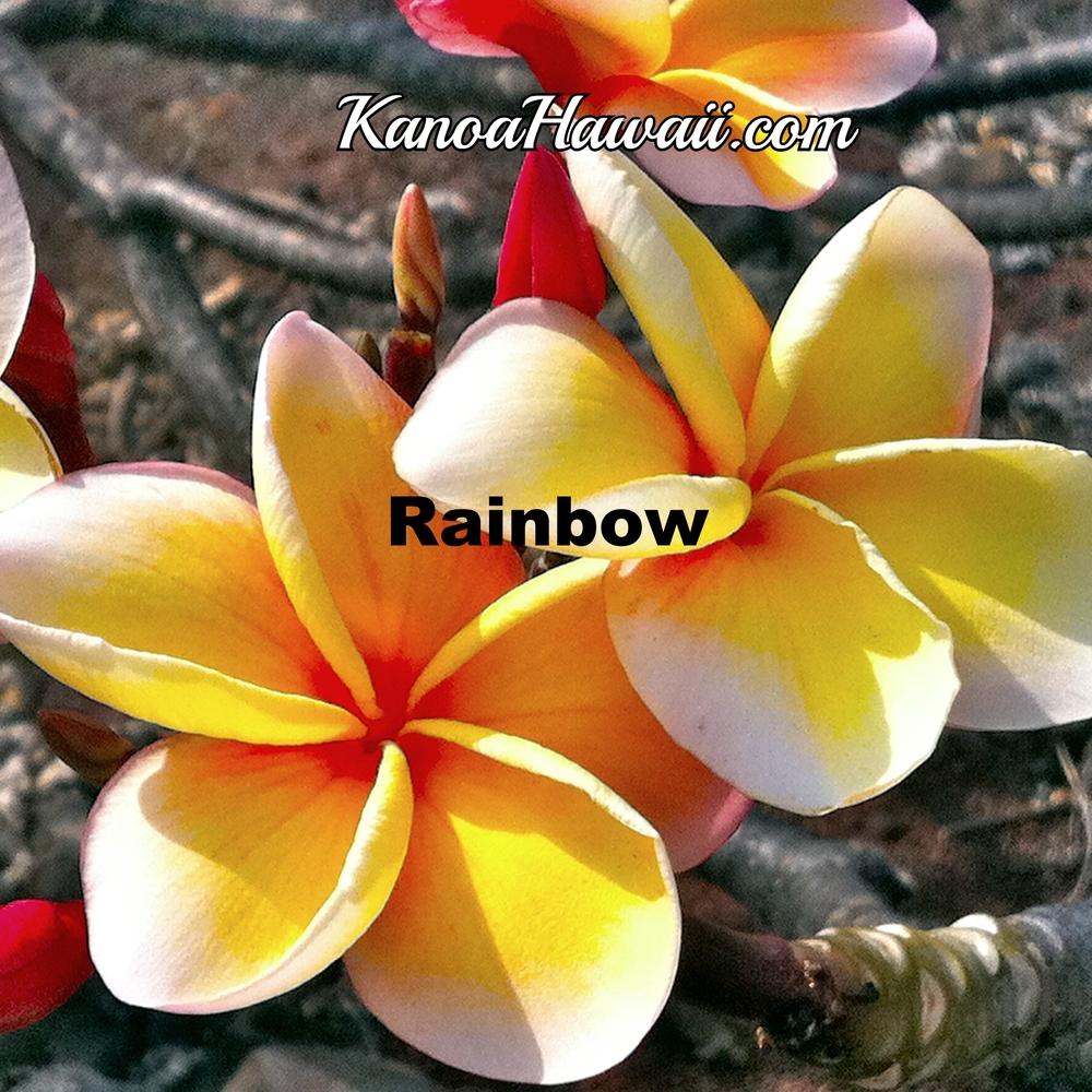 Heaven Scent Plumeria Best Hawaiian Plants From Kanoa Hawaii
