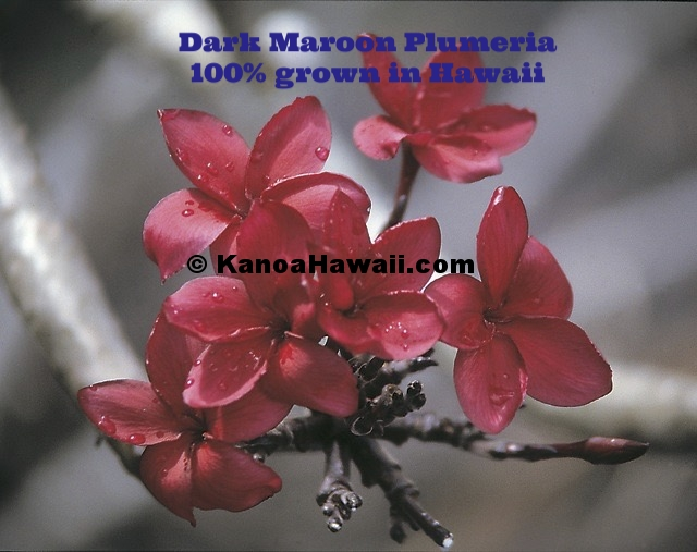 Dark Maroon Plumeria.jpg