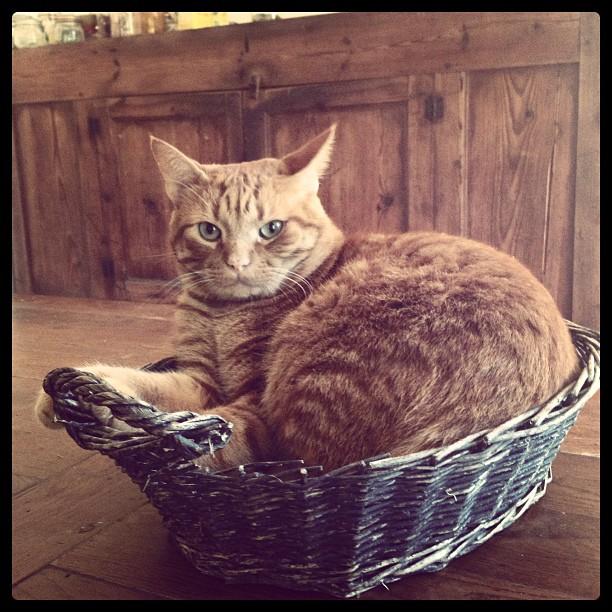 #fatgingercat
