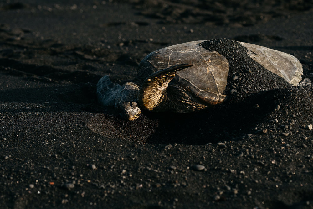 Turtle on the Black Sand Beach in Hawaii during engagement session.