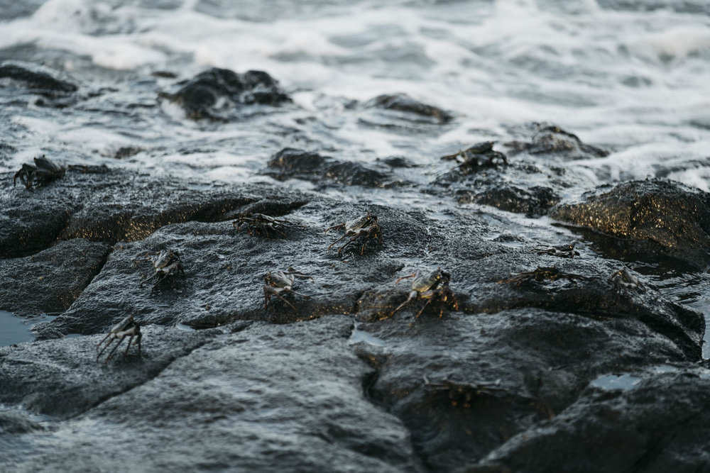 Crabs on a rock near the sea shore in Hawaii.