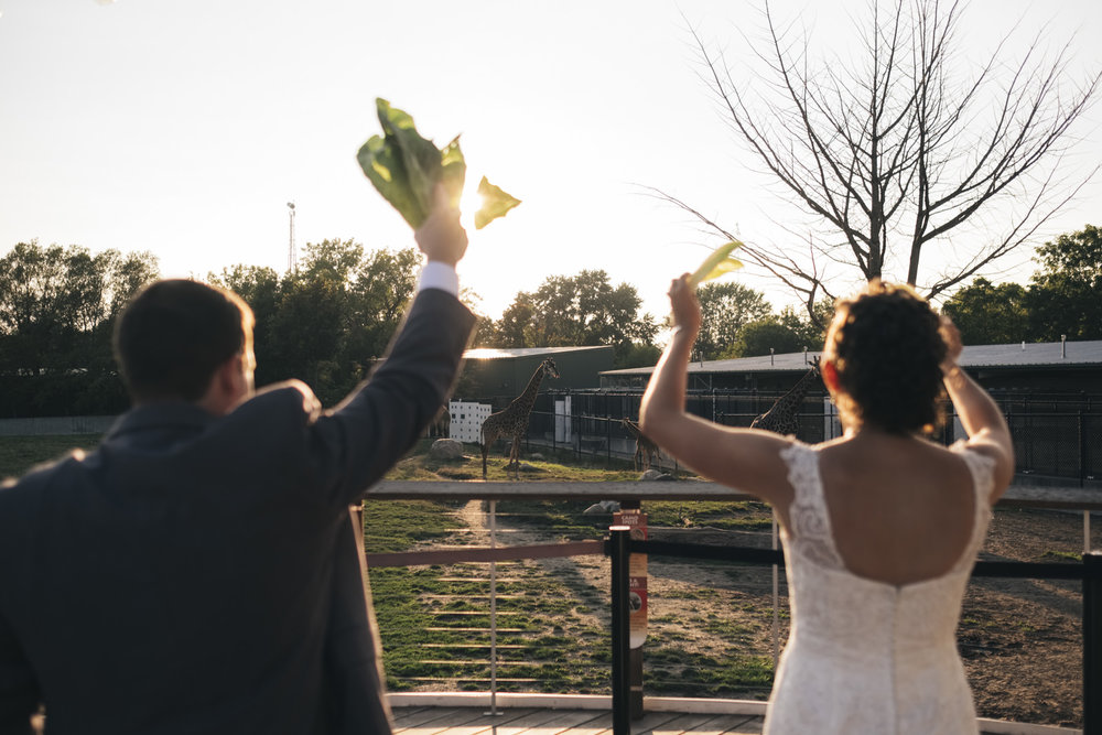 Bride and groom wave lettuce at the giraffes in hopes to feed them at their wedding reception.