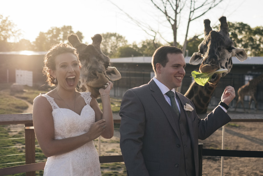 Bride and groom feed the giraffes at their wedding reception in Toledo.