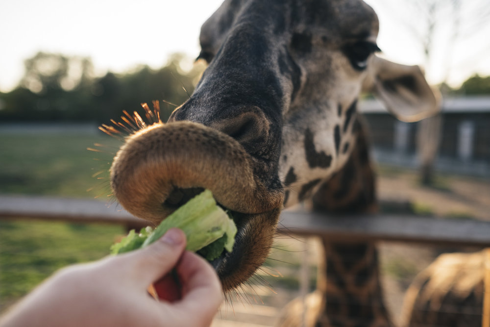 Feeding giraffes at the Toledo Zoo.