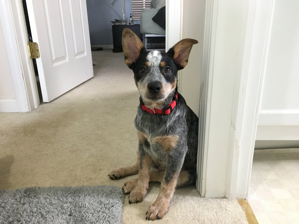 Fiona, the Australian Cattle Dog.