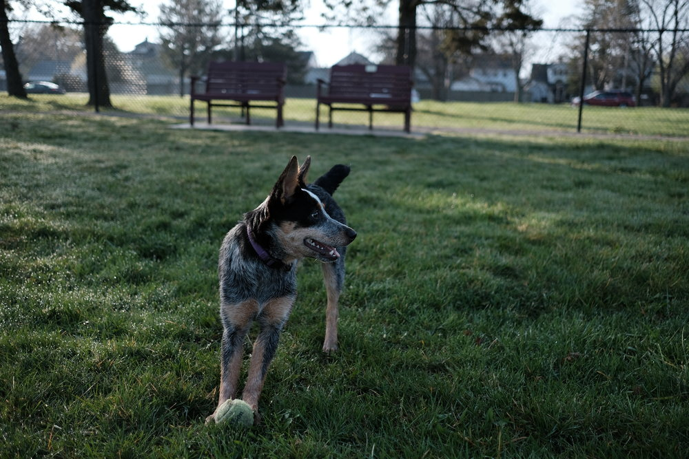 Australian_Cattle_Dog_at_Glass_CIty_Dog_Park