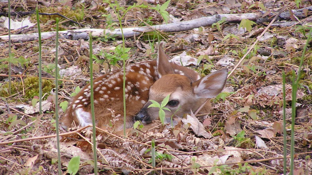 Fawn on Walled Lake Property.jpg
