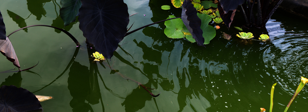 Brooklyn Botanical Garden - Green Lotus Pond