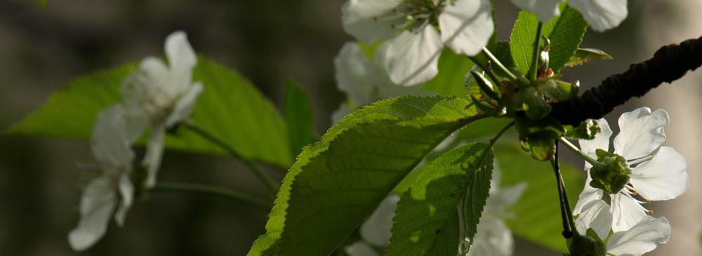Brooklyn Botanical Garden - Cherry Blossoms