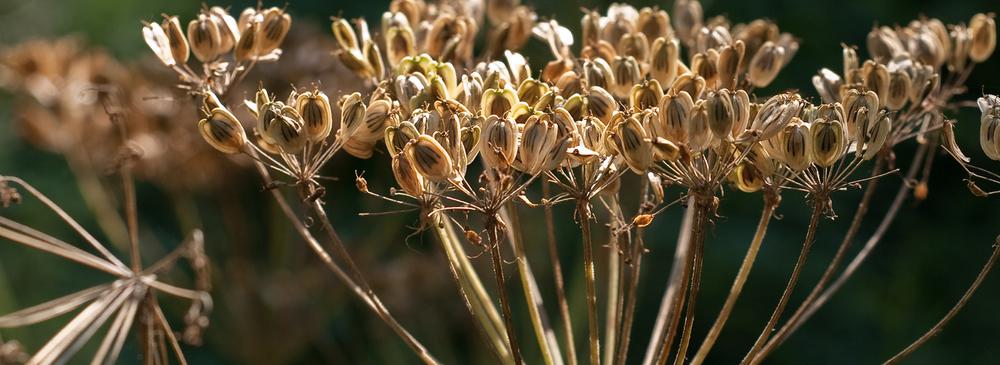 Brooklyn Botanical Garden - Seed Pods