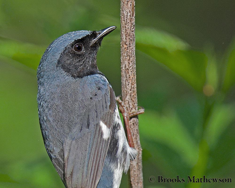 Black-throatedBlueWarbler-c.jpg