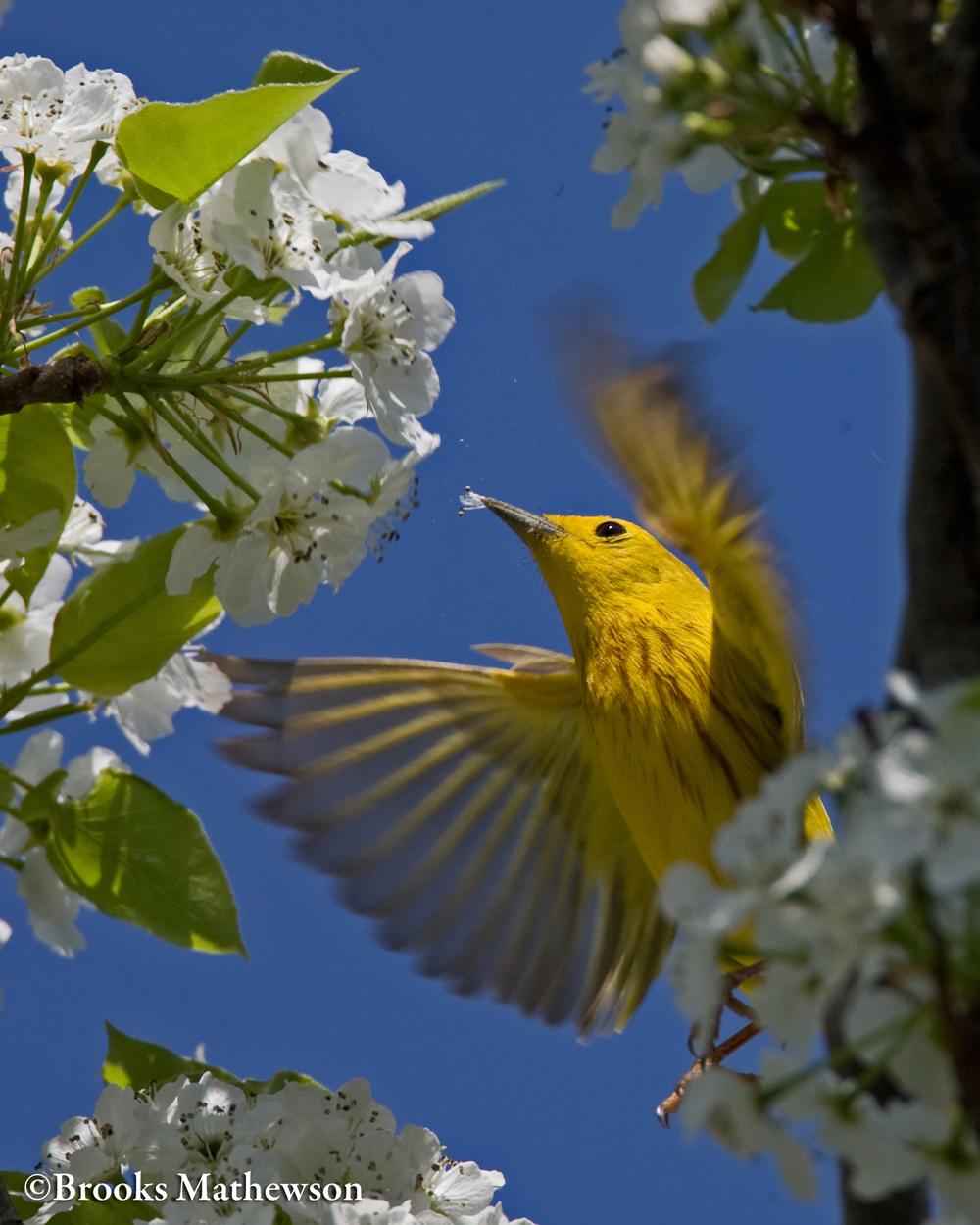 YellowWarblerInFlight-c.jpg