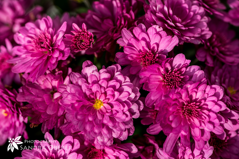 Chrysanthemen pink