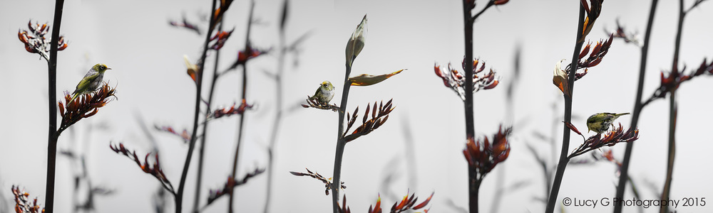 Silvereye on Flax (b/w background)