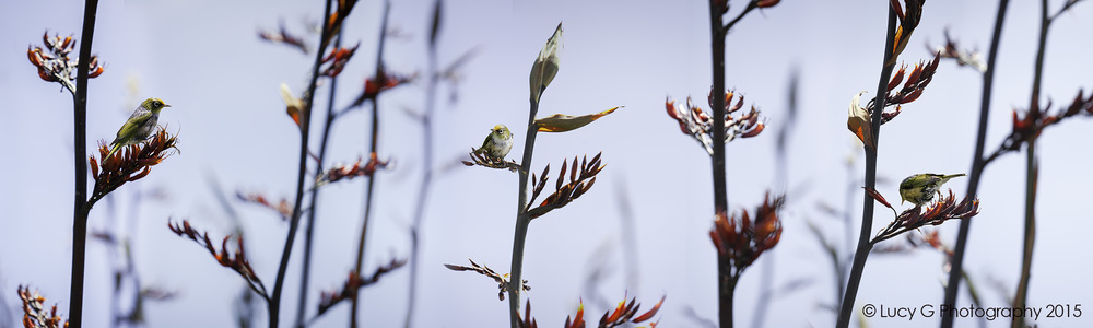 Silvereye on Flax (colour background)