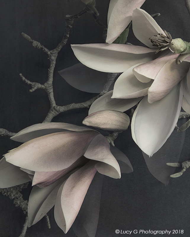 Midnight Magnolia 600x750mm