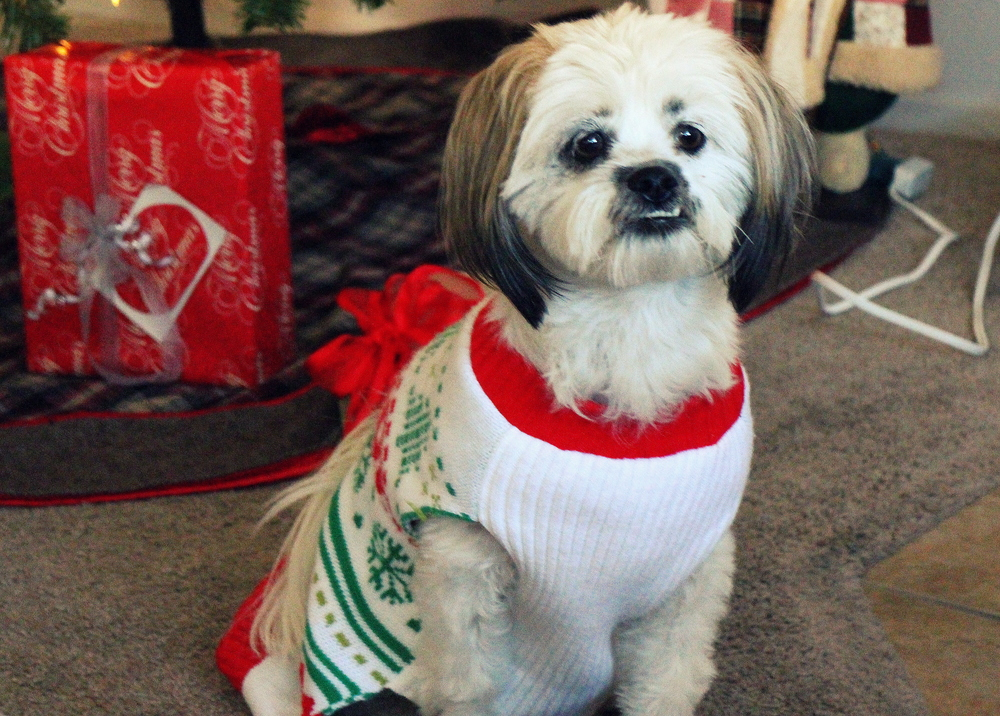 Even Penny has an ugly sweater! Such a cutie!!