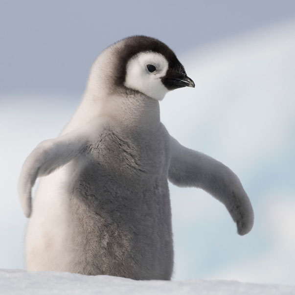 baby-penguin-crop.png