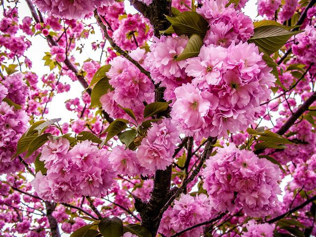 cherryblossoms .jpg