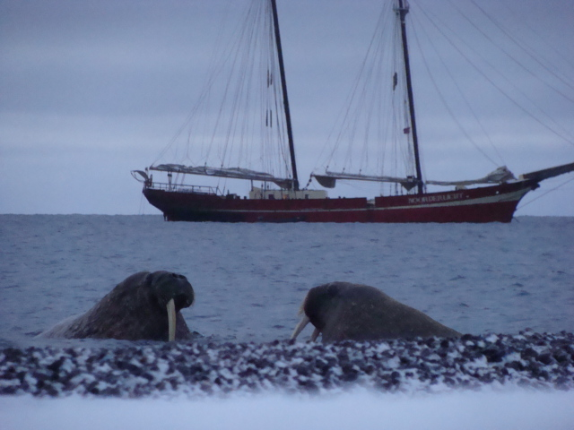 Nearrly defenseless on land, walrus are vary dangerous and agressive in the water