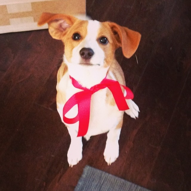 Gus the Beagle-Jack Russell Terrier