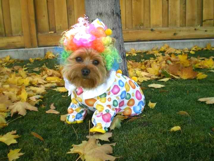 Clown Yorkie.jpg