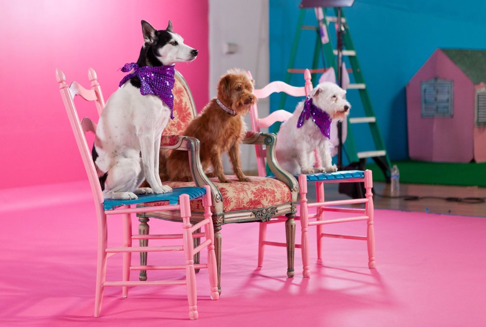 3 dogs on chairs.jpg